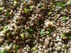 Die gekochten Belugalinsen mit asiatischen Schnittlauch